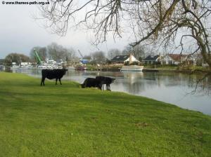 Cattle at Chertsey